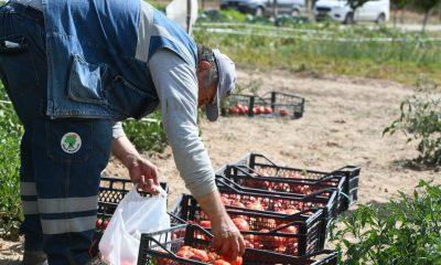 Mamak'ta ata tohumlarının ilk hasadı yapıldı
